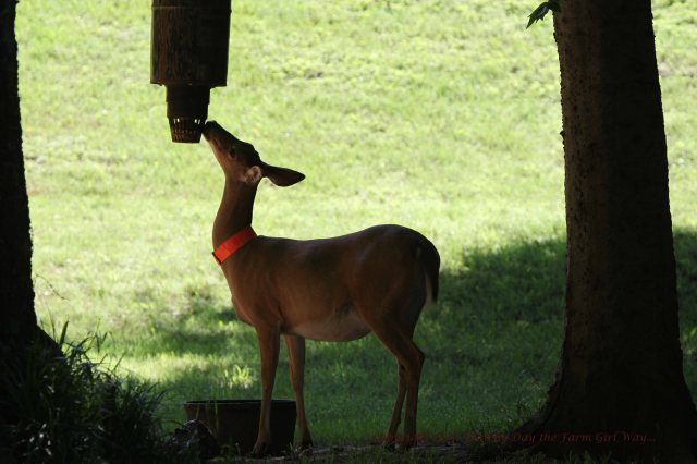 I am always happy to see Daisy Deer!