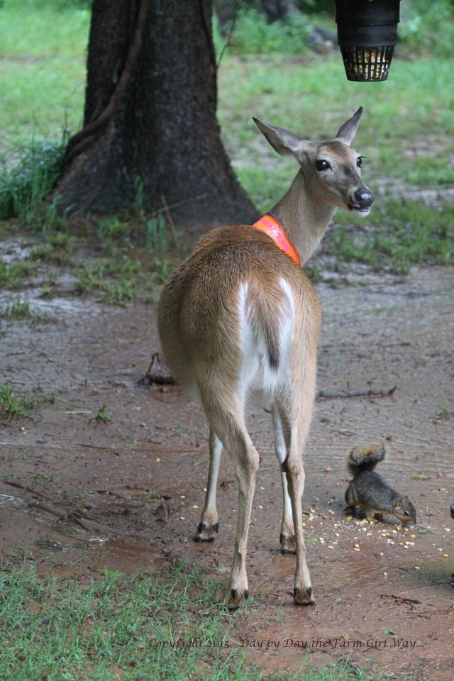 The rain does not stop Daisy deer and Mr. Gambini the squirrel from having a snack of corn in the afternoon!