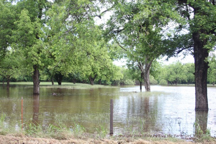 The pecan orchard from the road looking back towards our property during 2015 Washita River flood.