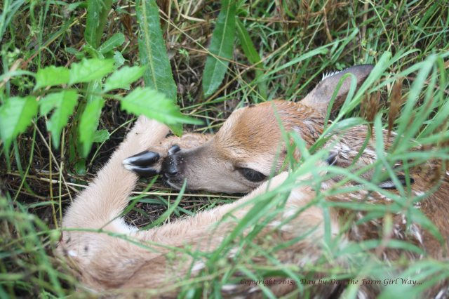 A fawn has no defense from predators the first week. Laying motionless and being well-camouflaged is its best defense. The mother also keeps it very clean and scentless the first few weeks.