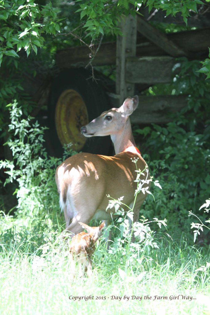 The first couple of weeks Daisy will hide the fawns in separate places. She nurses them on different schedules too. In the wild it is better to keep them separate in case a predator finds them. Both could be lost if they were kept together. Later when they can run, Daisy will bring them together. But for many months, Daisy is on high alert - always watchful and at the ready to fend off trouble.