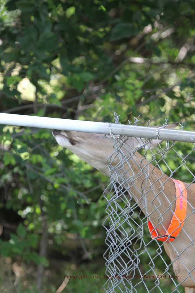 """FD and Steve agreed to pain the top rail of the fence white so that deer could easily see it. Daisy gives her approval """"sniff""""."""
