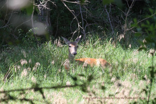 While we wait to watch Daisy bring a fawn through the new opening, Daisy decides to rest a bit.