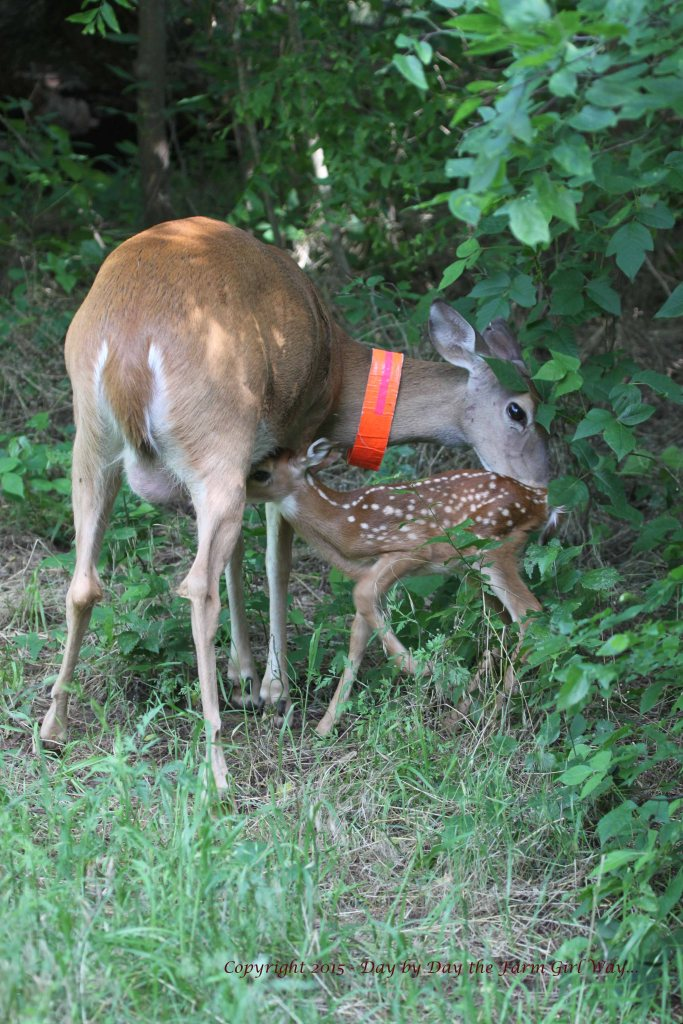 After about twenty minutes, Daisy decides to call her fawn for nursing time.