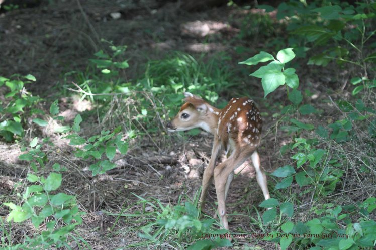 After nursing, the fawn does a little romping and wandering.