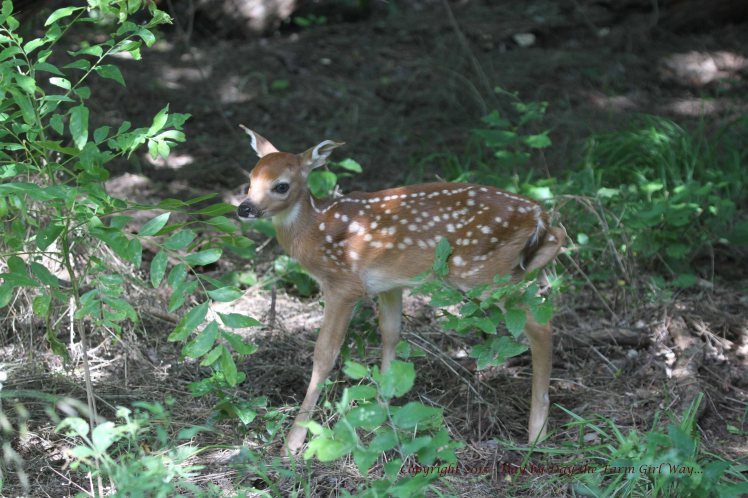 Fawn Play Time_1544