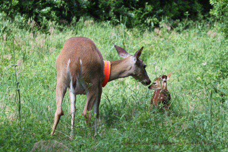 Daisy constantly stops to groom and bond with her doe fawn.