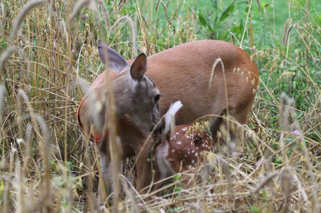 Daisy finds comfort in her old deer pen. For three years she has hidden her fawns in the tall grasses and plants we originally set up as a food plot for Daisy.