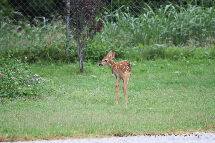 Daisy leads a fawn from her old deer pen to our neighbor Steve's property. The baby will find a place to bed down on its own.