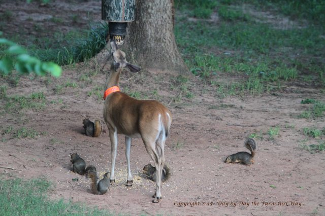 Daisy is in good company with her squirrel friends. I'm quite sure Mr. Gambini is one of the group chowing down on dropped corn!