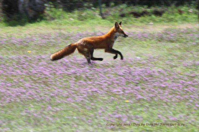 Red Fox_0217