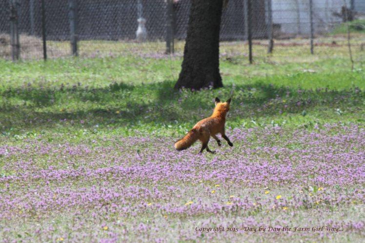 Red Fox_0222