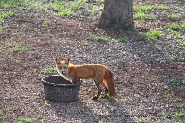 Red Fox_0259