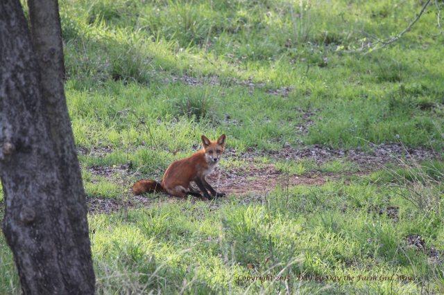Red Fox_0266