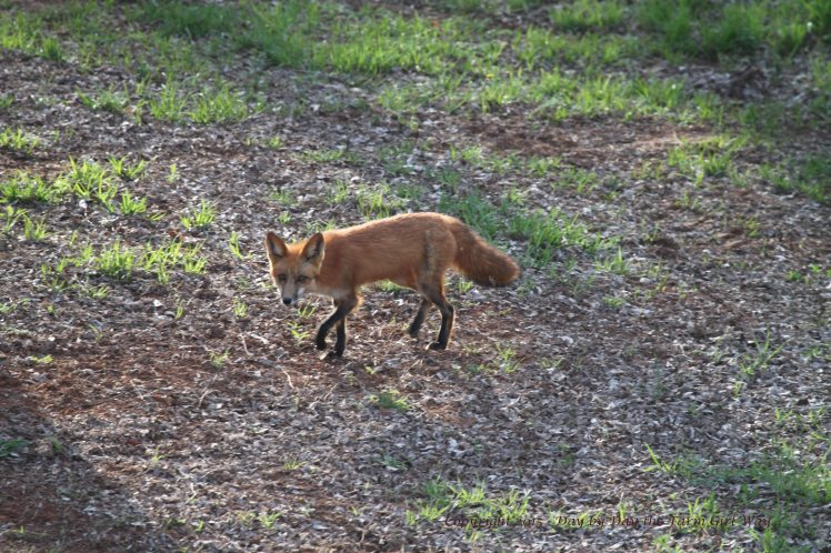 In March, the young fox (which I believe to be the female) is seen hunting all hours of the day and night. I believe her den was somewhere north of our property in the deep woods.