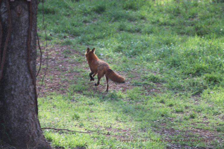 Red Fox_0277
