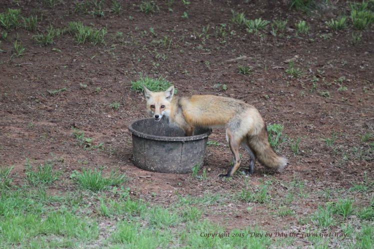 Old Red Fox_0426