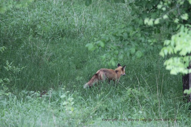 The old red fox is not seen as frequently. Perhaps it hunts in other areas of the woodlands while the young fox keeps closer to the kits.