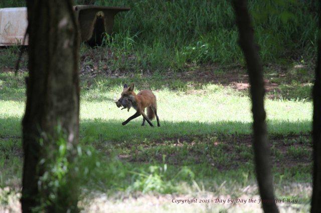Red Fox Kill_0508
