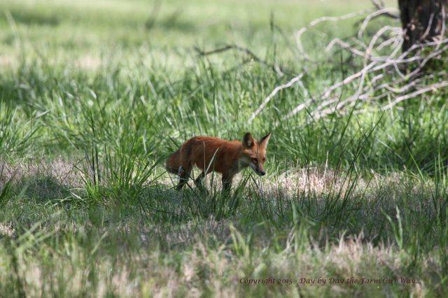 Red Fox_0566