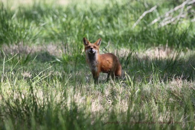 """One day I was actually photographing a Pileated Woodpecker in the pecan orchard and the young red fox came along and never did see me... but she knew I was there! She kept putting her nose to the air """"catching scent"""". She eventually changed direction and moved away from me."""