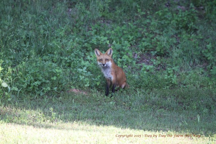 Early in the spring the foxes avoided us and quickly disappeared into the woods. By mid-summer, the foxes no longer feared us. Shooing them away from the water tub (so that they couldn't nab the birds who came for water) meant chasing after them to run them off!