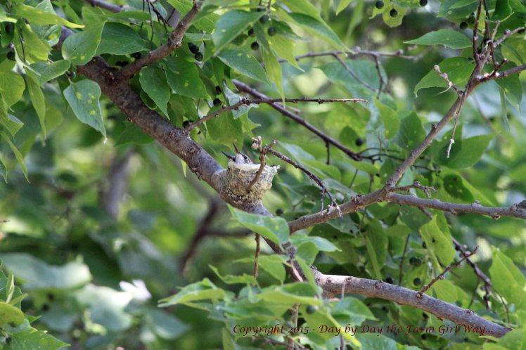 Hummingbird Nest_1604 R12K