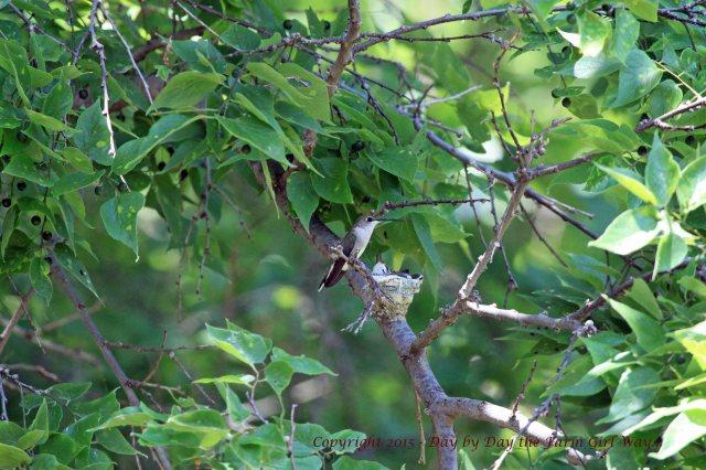 Hummingbird Nest_1609 R12K
