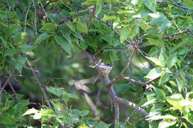Hummingbird Nest_1611 R12K