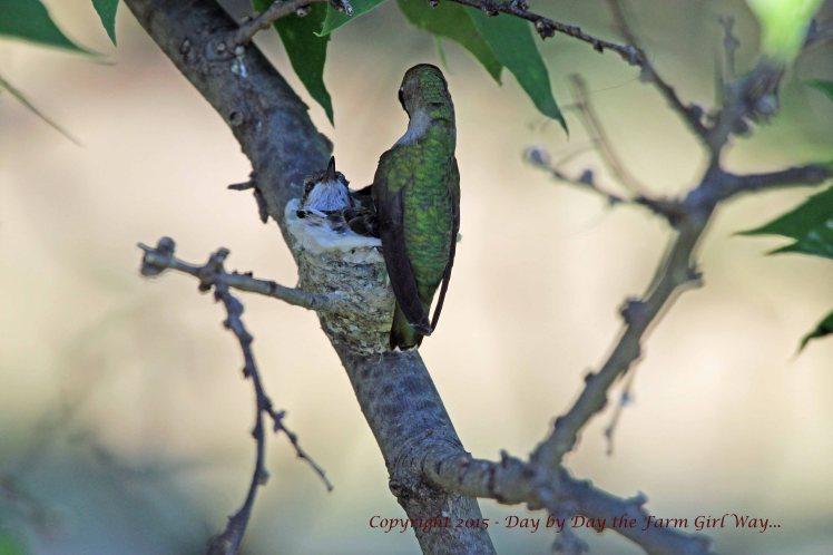 Hummingbird Feeding_1635 R12K