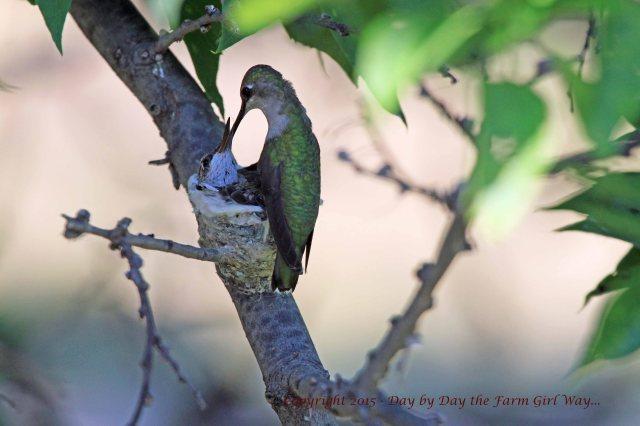 Hummingbird Feeding_1638 R12K