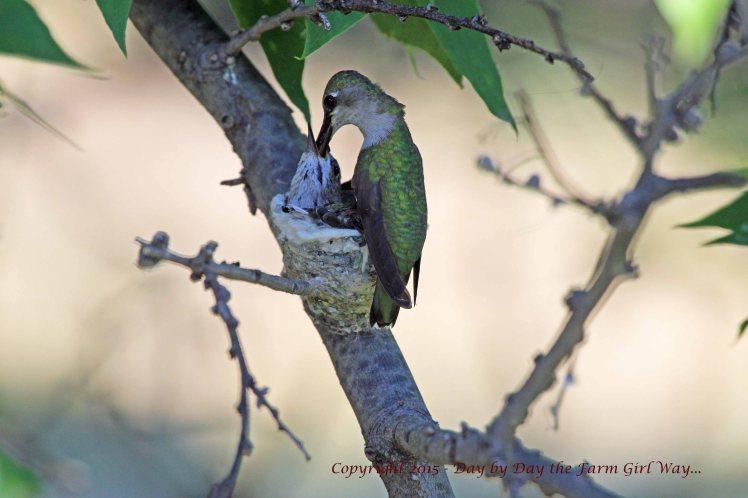 Hummingbird Feeding_1639 R12K
