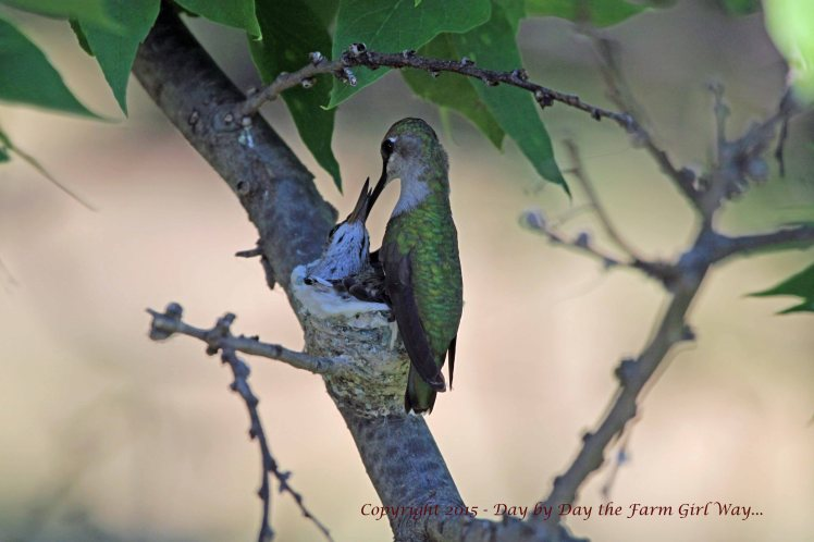 Hummingbird Feeding_1642 R12K