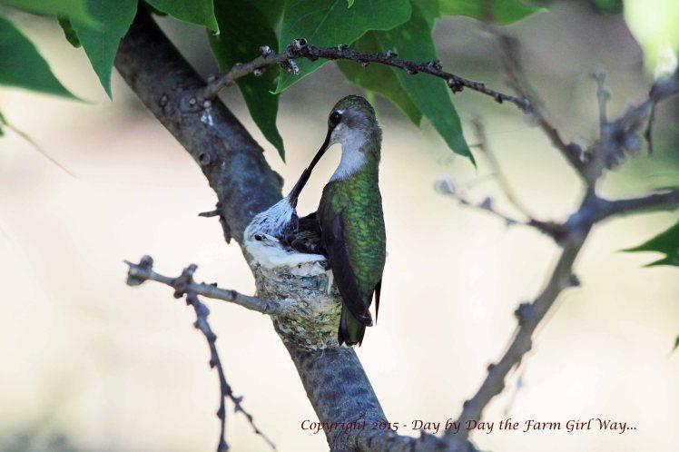 Hummingbird Feeding_1644 R12K