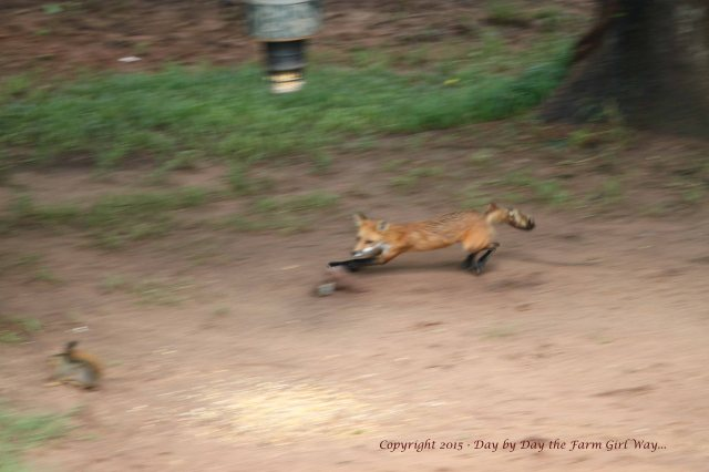 Red Fox Kill_1687