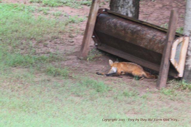 Red Fox Kill_1688