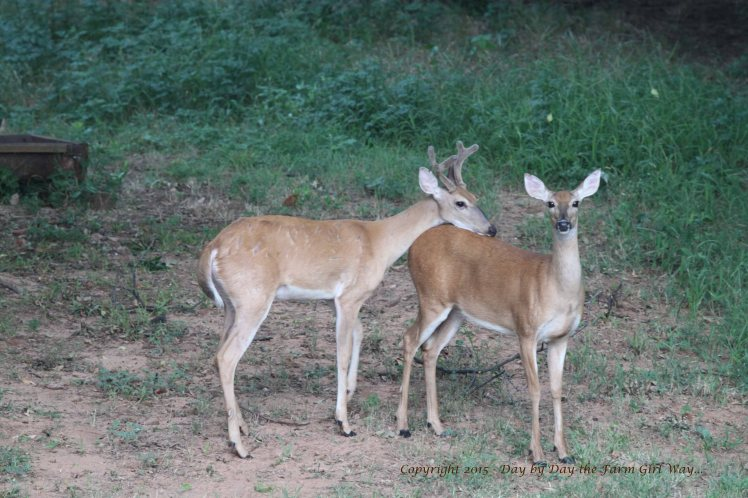 Yearling Buck_2566