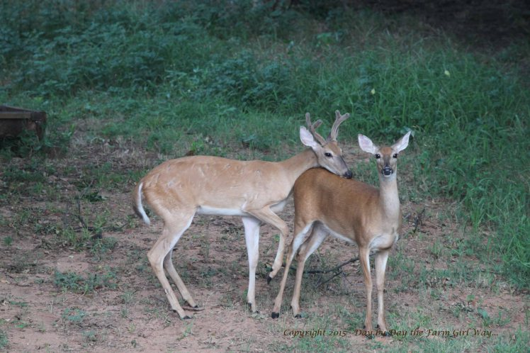 Yearling Buck_2567