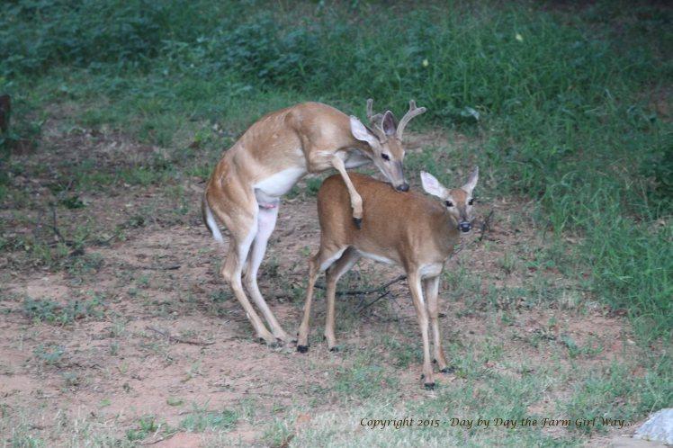 Yearling Buck_2569