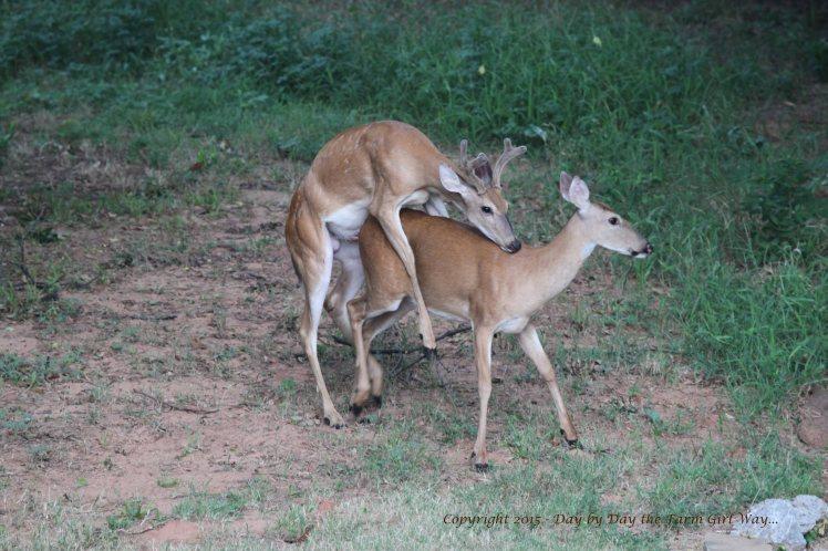 Yearling Buck_2571