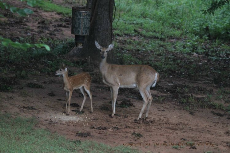 Doe Scarlet and Fawn_2648