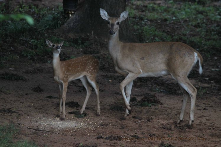 Doe Scarlet and Fawn_2650