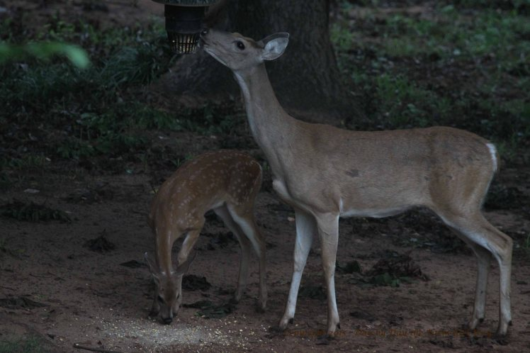 Doe Scarlet and Fawn_2652