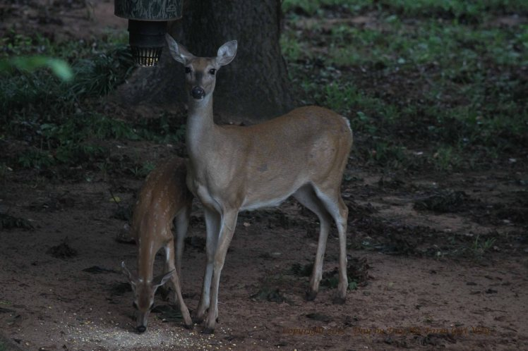 Doe Scarlet and Fawn_2665