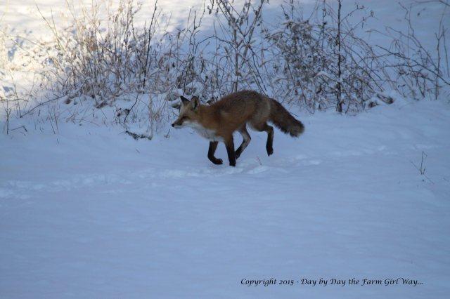 Red Fox_9973