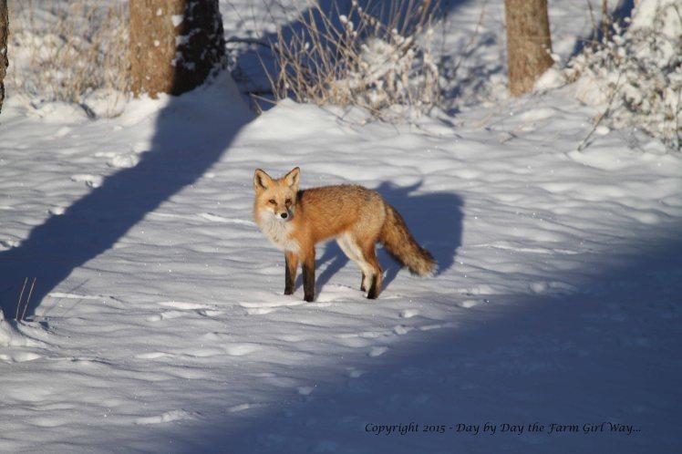 Red Fox_9975
