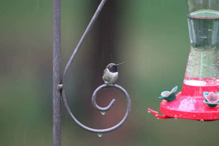 A little rain is not stopping this hummingbird from staking claim to the Perky-Pet nectar feeder!