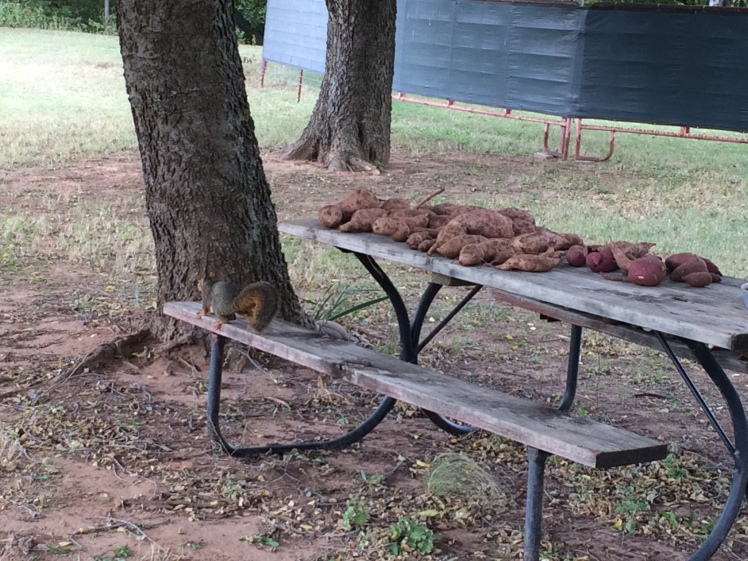 Buddy the squirrel stopped by to check out some of the sweet potatoes but they were not of interest to him. He has been busy harvesting pecans in the woods, and has set up his winter home in the trunk of a tree just south of our house.
