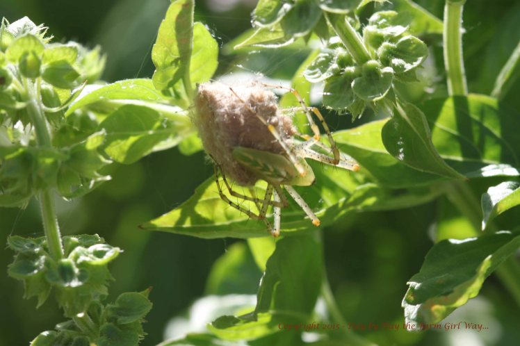 My green lady friend protected her egg sac day and night for more than two weeks.