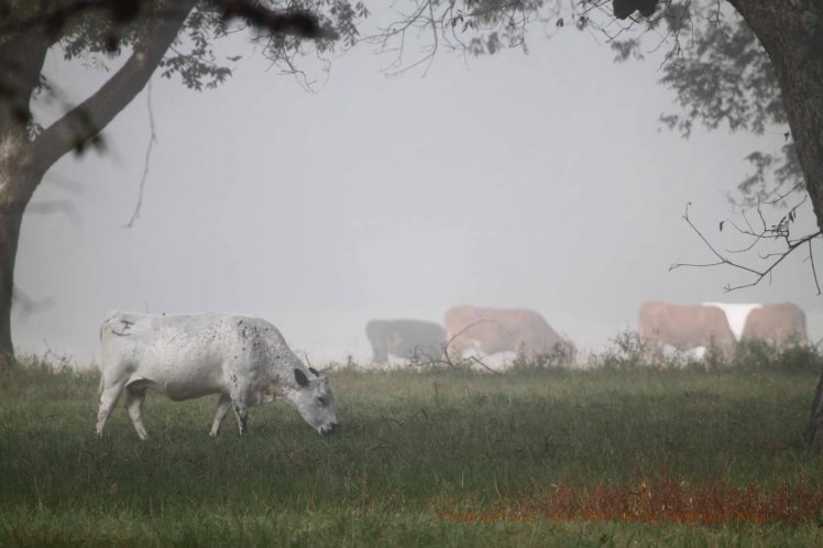 Cattle graze in the pecan orchard as the sun begins to burn off the dense fog.